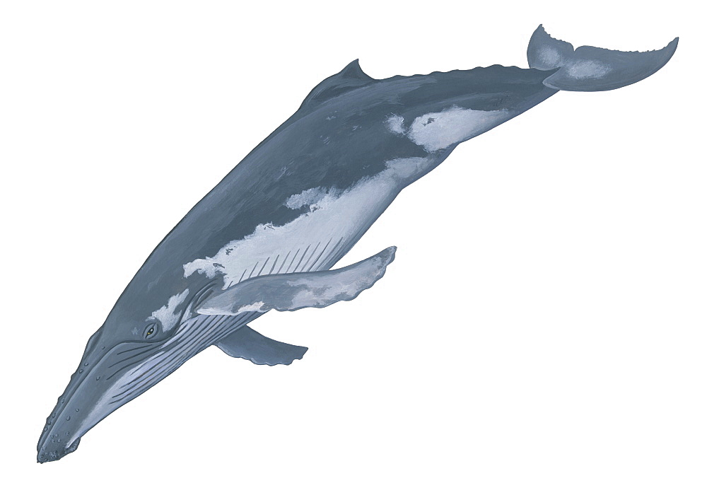 Illustration of a Humpback whale (Megaptera novaeangliae) showing characteristic shape and markings. - 991-38