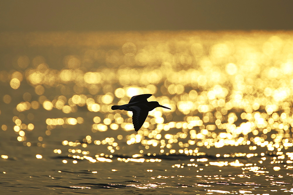 Oystercatcher (Haematopus ostralegus) flying, silhouetted against sunrise reflected in water Argyll Scotland, UK - 995-157