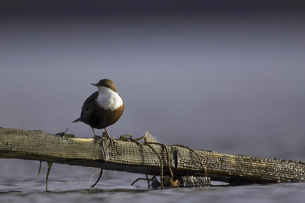 Dipper (Cinclus cinclus) perched on broken fence submerged in water. Argyll, Scotland, UK - 995-180