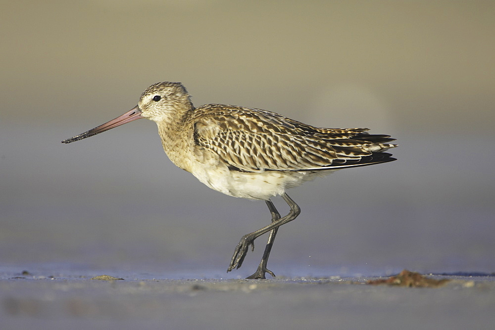 Bar-Tailed Godwit (Limosa lapponica) walking while foraging for food on beach, front foot up. Gott Bay, Argyll,. Scotland, UK - 995-201