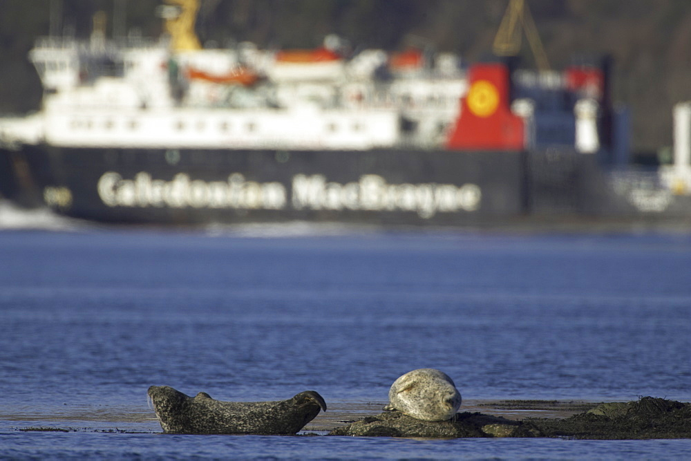 Common Seal (Phoca vitulina) resting on rock calmac ferry in background. Argyll, Scotland, UK