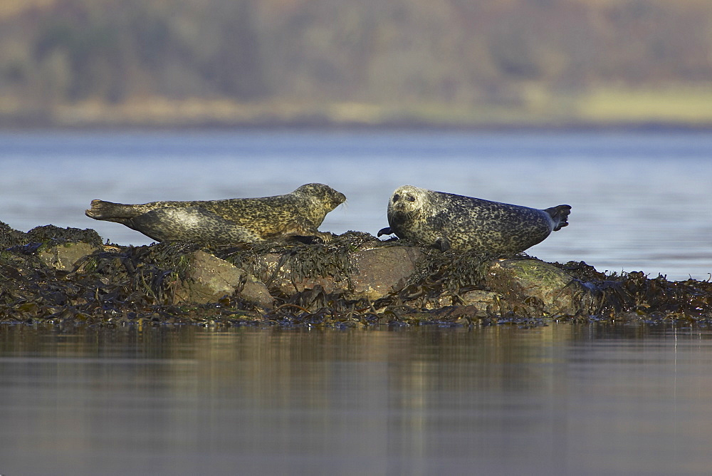 Common Seal (Phoca vitulina), two on rocks looking at each other tails up. Argyll, Scotland, UK