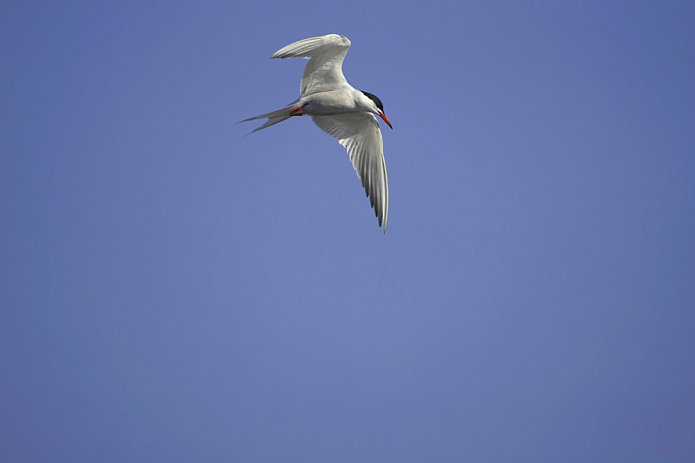 Common Tern (Sterna hirundo) flying in Oban town centre while fishing. Oban, Argyll. Scotland, UK - 995-68