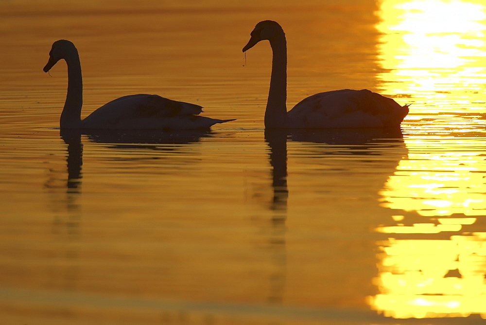Mute Swan (Cygnus olor) silhouetted against rising suns reflection in water Angus Scotland, UK - 995-77