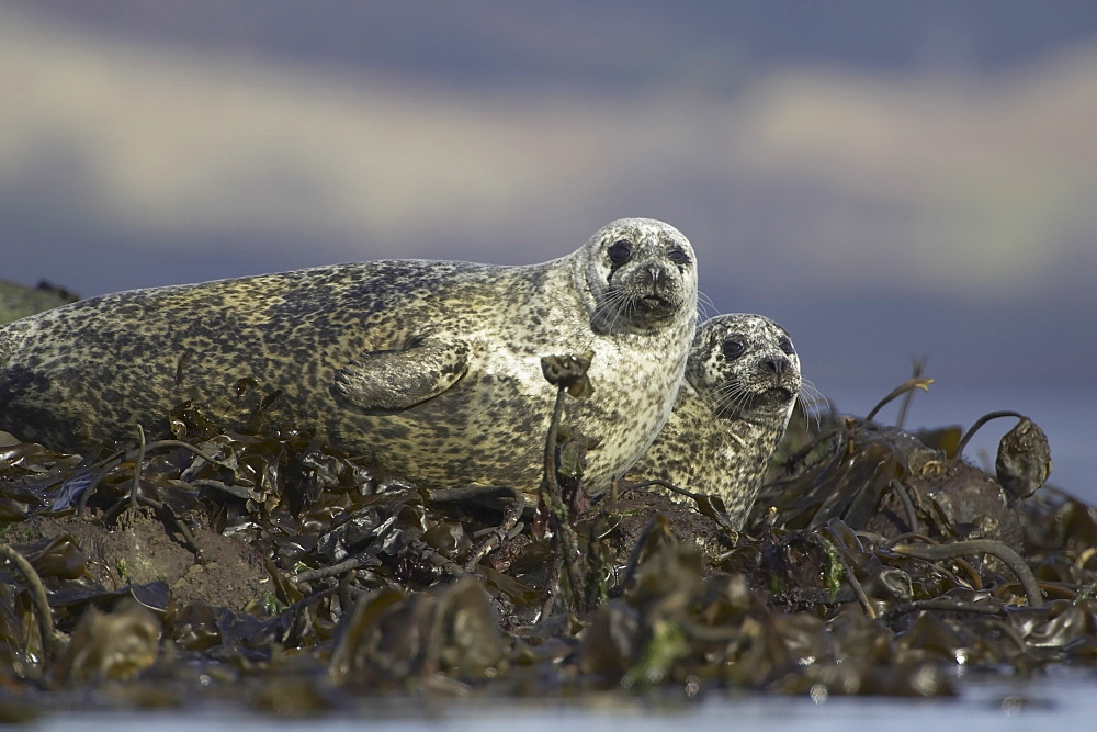 Common Seal (Phoca vitulina), two in bed of seaweed on rocks. Argyll, Scotland, UK