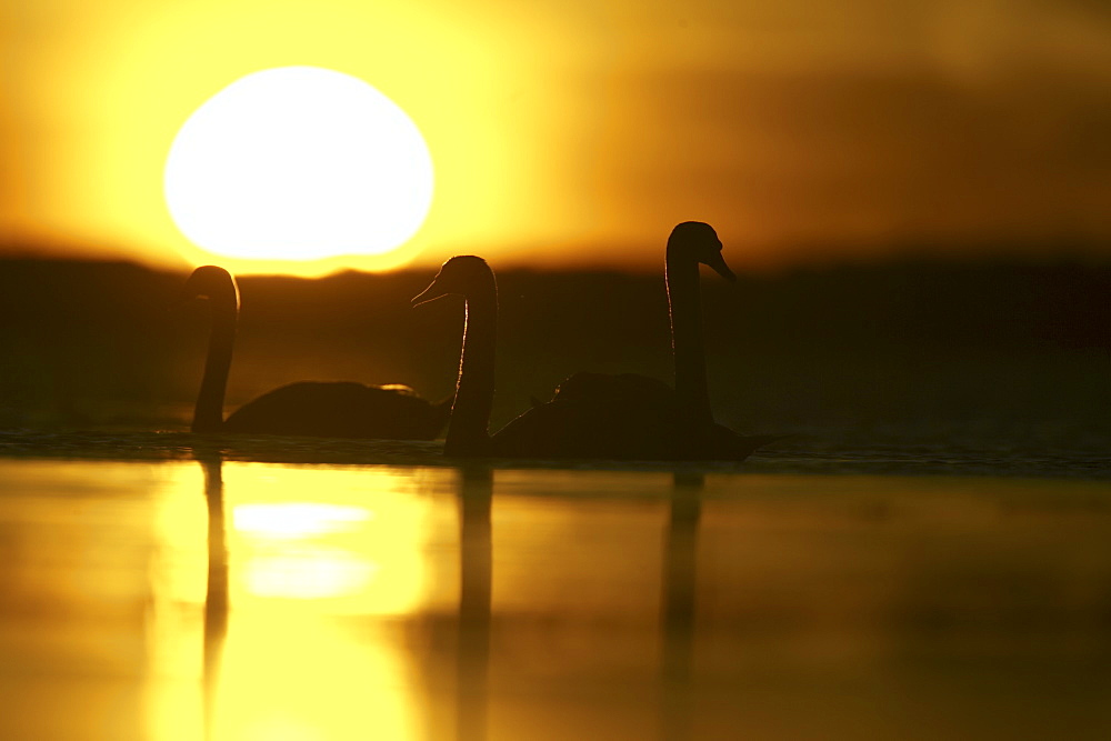 Mute Swan (Cygnus olor) silhouetted against rising sun Angus Scotland, UK