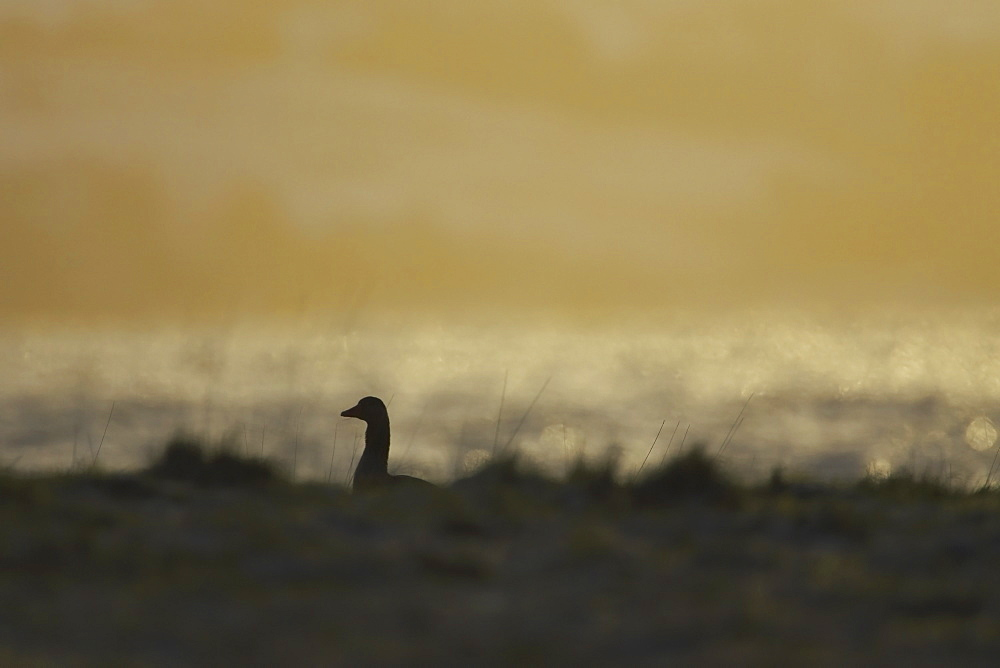 Greylag Goose (Anser anser), silhouetted against early morning sun while feeding in long beach grass. Argyll, Scotland, UK - 995-90