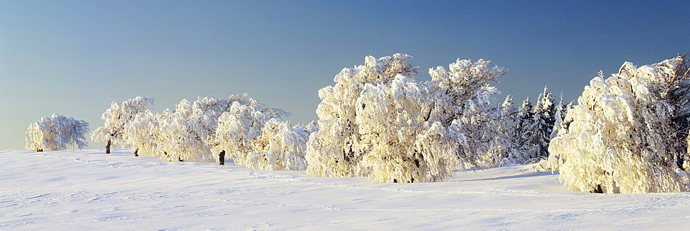 Snow-covered beech trees, Schauinsland Mountain, Black Forest, Baden Wurttemberg, Germany, Europe