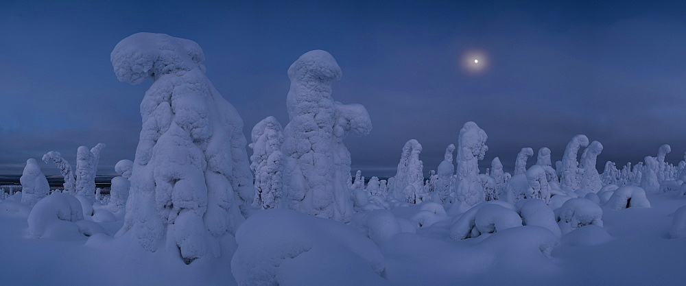 Moonrise over snow covered trees, Tykky, Kuntivaara, Kuusamo, Finland, Europe