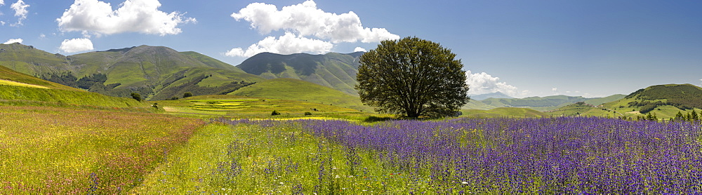 Wildflower meadows in the Monte Sibillini National Park, Umbria, Italy, Europe - 1200-94