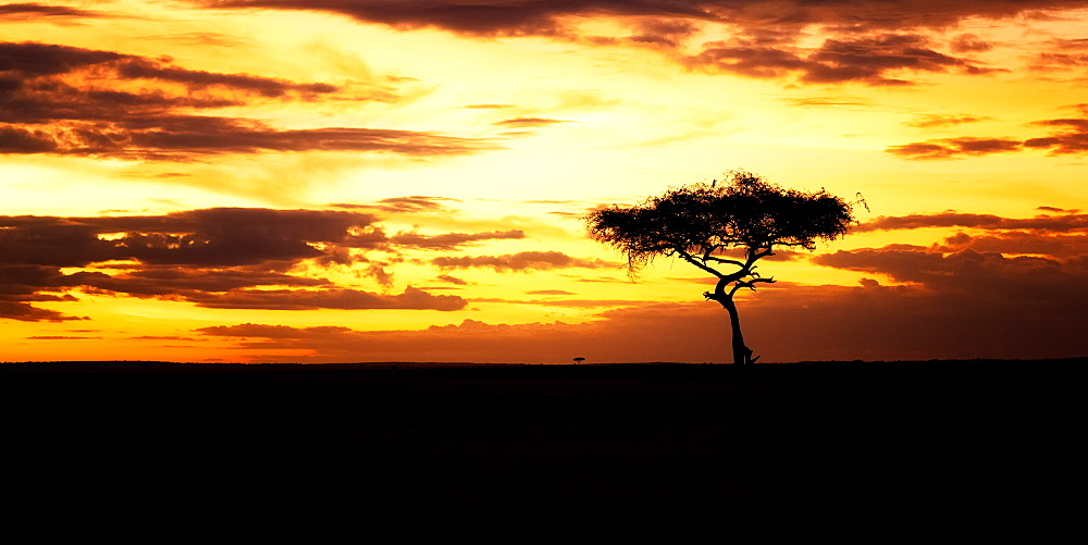 Acacia Tree at sunset, Masai Mara, Kenya, East Africa, Africa