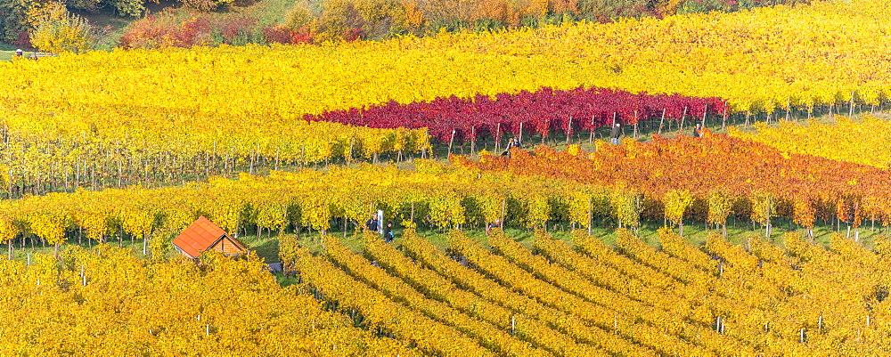 Vineyard Kappelberg, Herbst, Baden-Wurttemberg, Germany, Europe - 1244-5