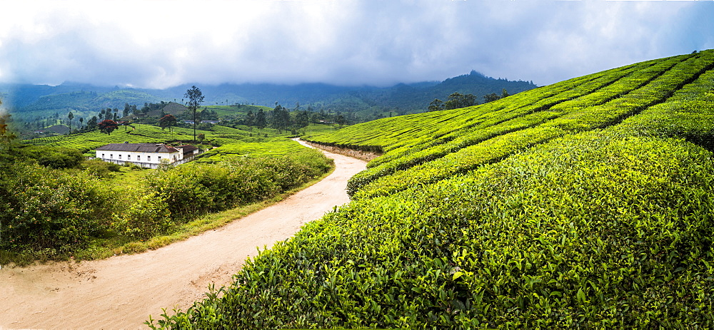 Tea plantations landscape near Munnar in the Western Ghats Mountains, Kerala, India, Asia - 1272-226