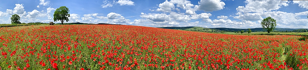 Poppy fields at Baslow, Derbyshire, England, United Kingdom, Europe