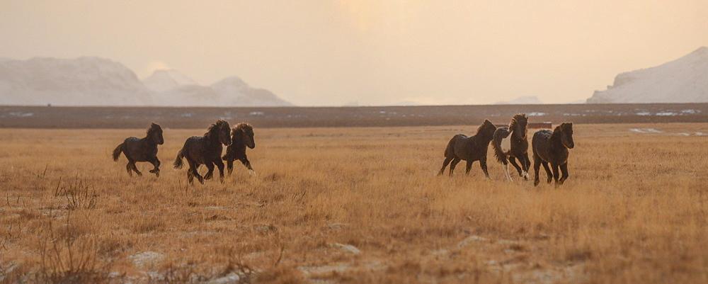 Icelandic horses in early morning light, Iceland, Polar Regions