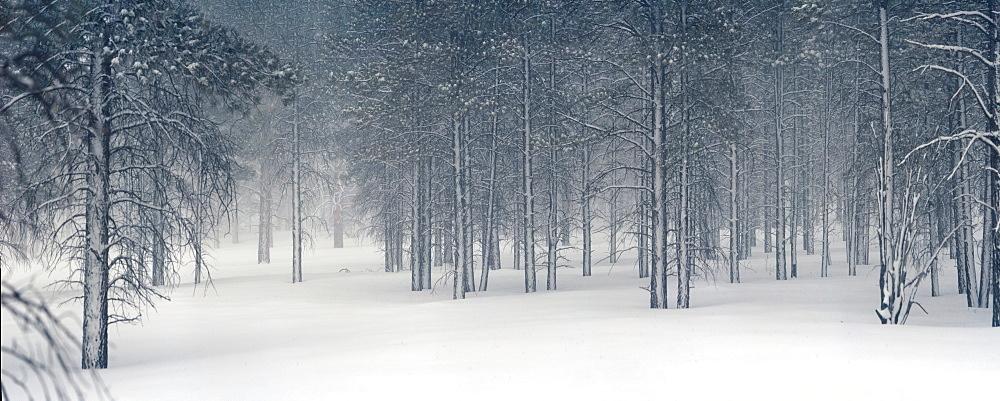 Pine trees in snow, Utah, USA