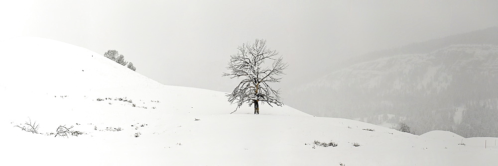 Single tree in snow coverd field, Lamar Valley, Montana, United States of America, North America