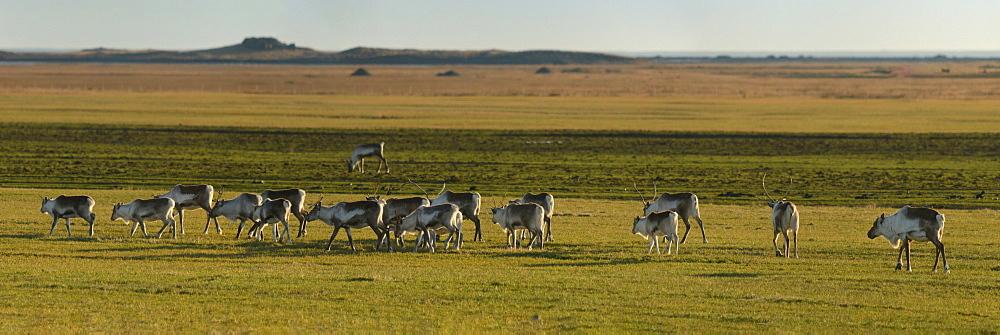 Reindeer herd, Iceland, Polar Regions