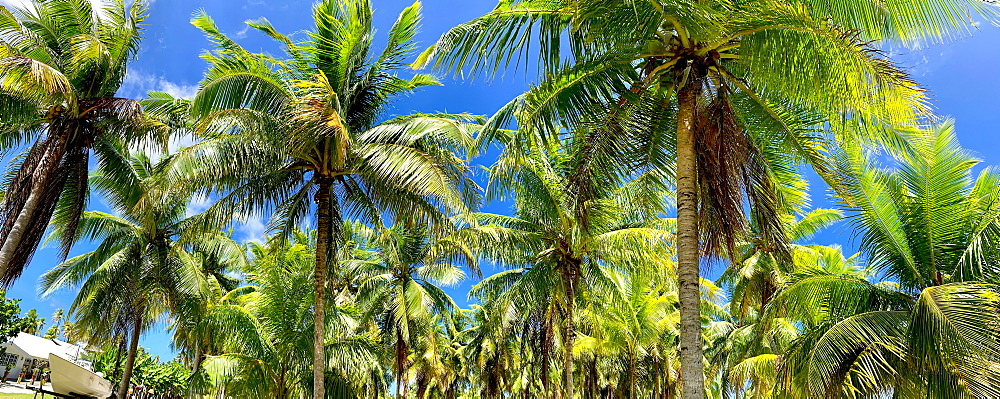 Coconut palm tree, Fatu Hiva, Marquesas, French Polynesia, South Pacific, Pacific