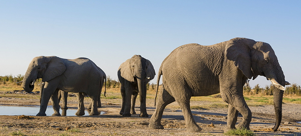 African elephants (Loxodonta africana) at waterhole, Botswana, Africa