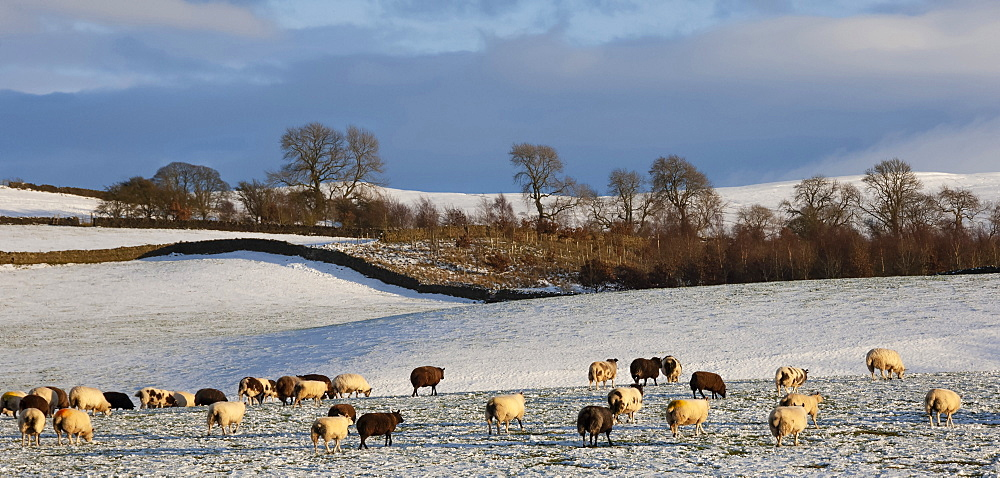 Sheep in snow, Eden Valley, Lower Pennines, Cumbria, England, United Kingdom, Europe - 747-1959