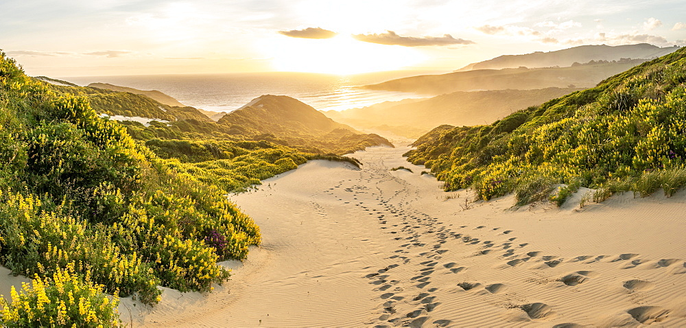 Yellow Lupines (Lupinus luteus) on sand dunes, view of coast, Sandfly Bay, Dunedin, Otago Region, Otago Peninsula, Southland, New Zealand, Oceania