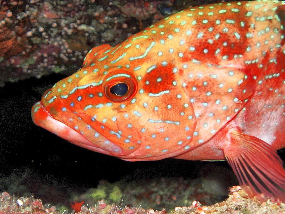 Grouper. Red Sea, Egypt. - 1022-13