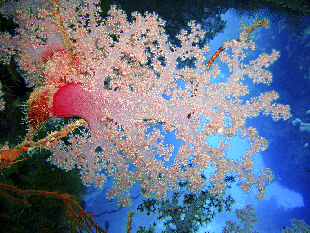 Coral species. Southern Red Sea, Egypt.