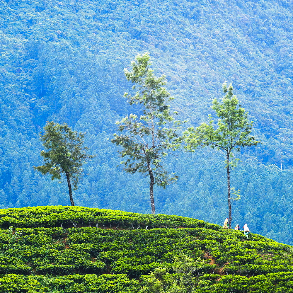 Tea pluckers working at a tea plantation in the the Central Highlands, Nuwara Eliya District, Sri Lanka, Asia