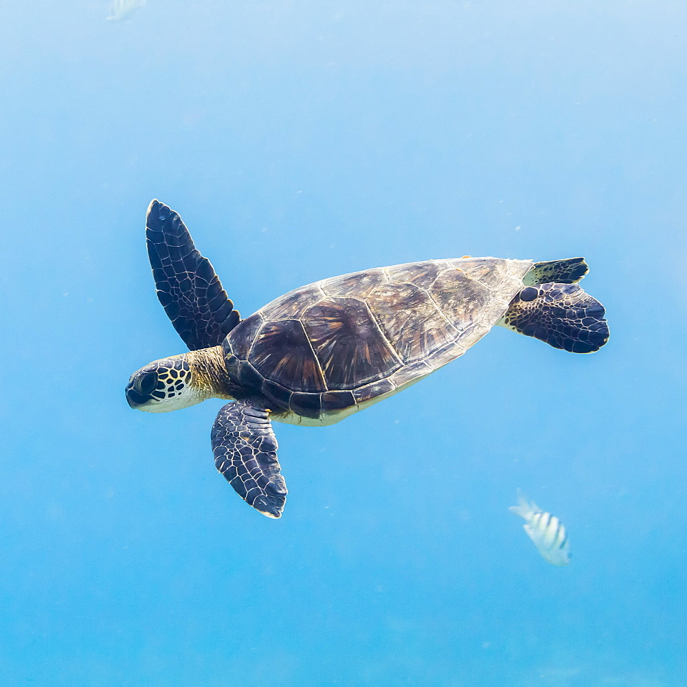 Green Sea Turtle (Chelonia mydas) diving after having breathed surface offshore of The Big Island, Island of Hawaii, Hawaii, United States of America