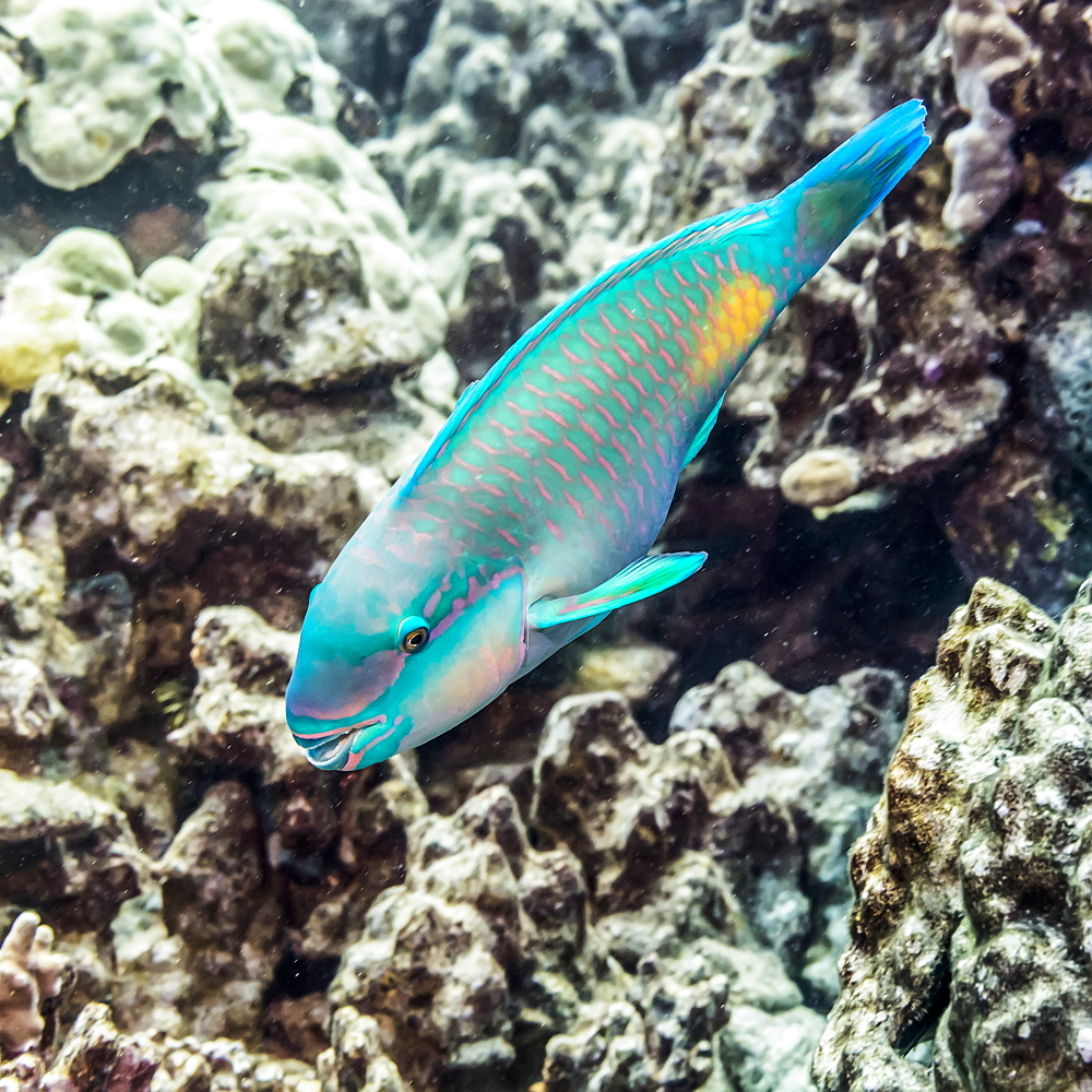 Terminal male Bullethead Parrotfish (Chlororus sordidus) photographed while scuba diving the Kona Coast, Island of Hawaii, Hawaii, United States of America