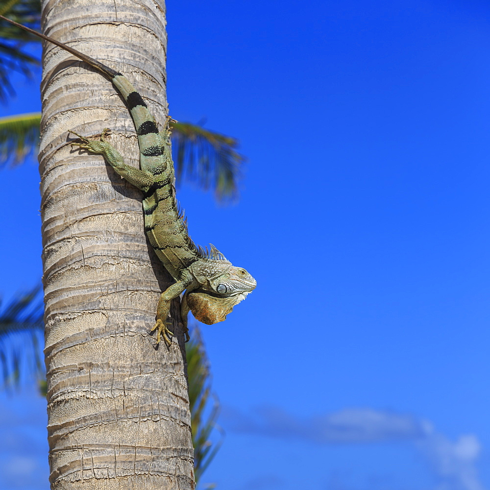 Green iguana (iguana iguana) in profile with raised head against blue sky, Orient Beach, St. Martin (St. Maarten), West Indies, Caribbean, Central America