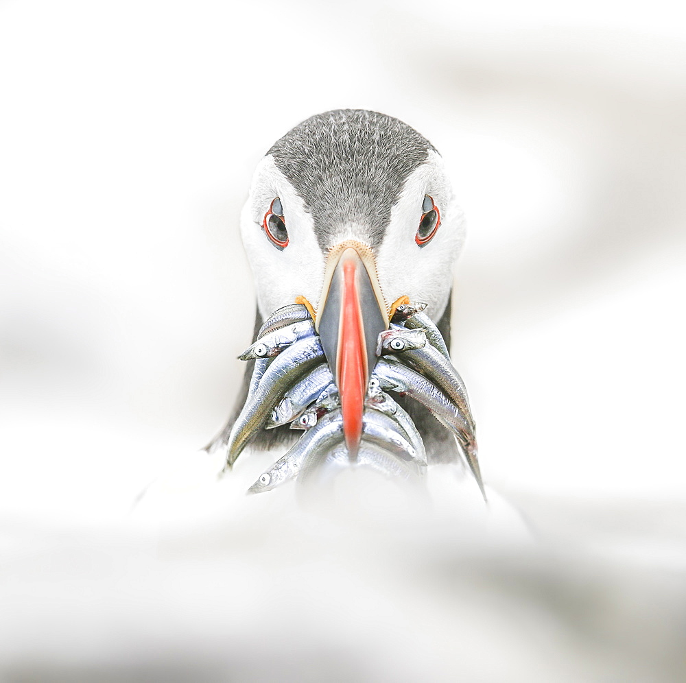 Puffin (Fratercula), Farne Islands, Northumberland, England, United Kingdom, Europe - 1204-11