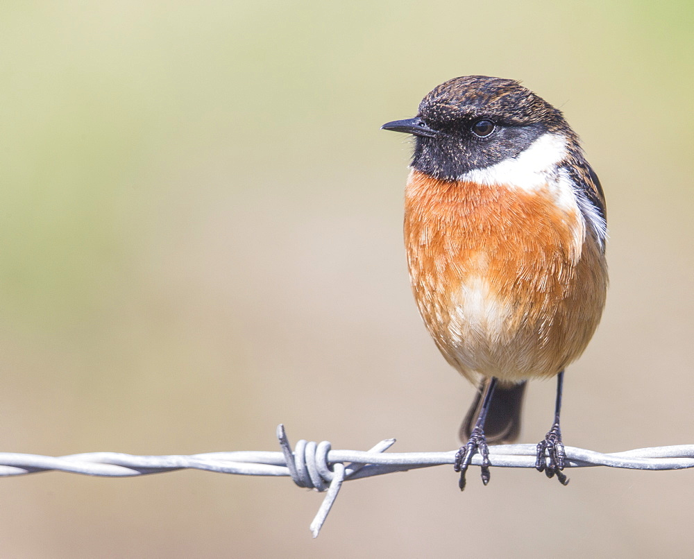 Stonechat (Saxicola rubicola), Middlesborough, England, United Kingdom, Europe - 1204-13