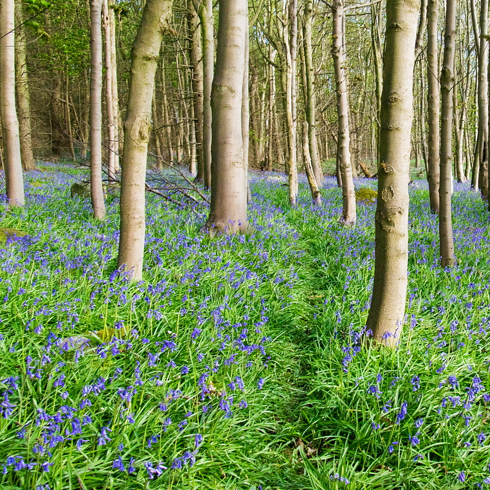 Bluebells, Riffa Wood, near Harrogate, Yorkshire, England, United Kingdom, Europe