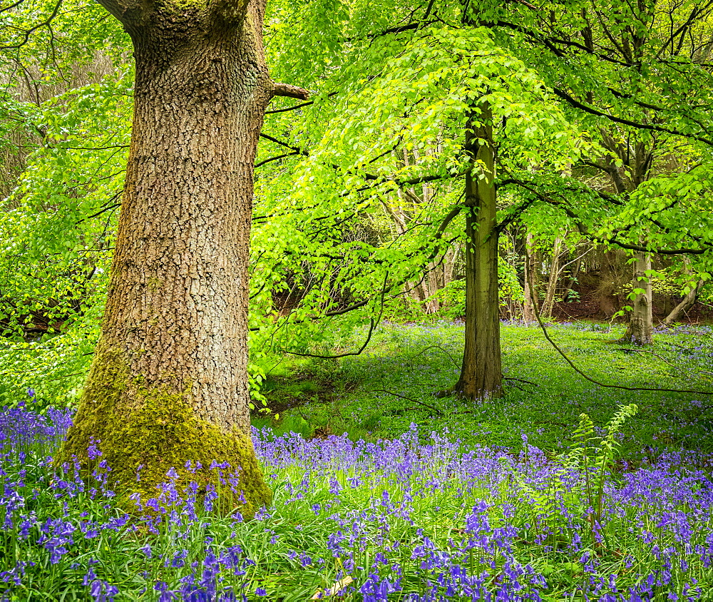 Bluebells, Harewood House, near Harrogate, North Yorkshire, Yorkshire, England, United Kingdom, Europe