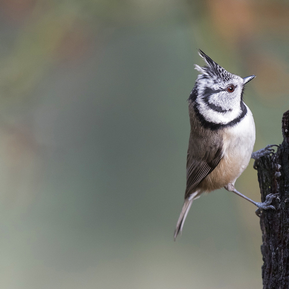 A Crested Tit in Abernethy Forest in Strathspey region of Scotland, United Kingdom, Europe - 1287-26