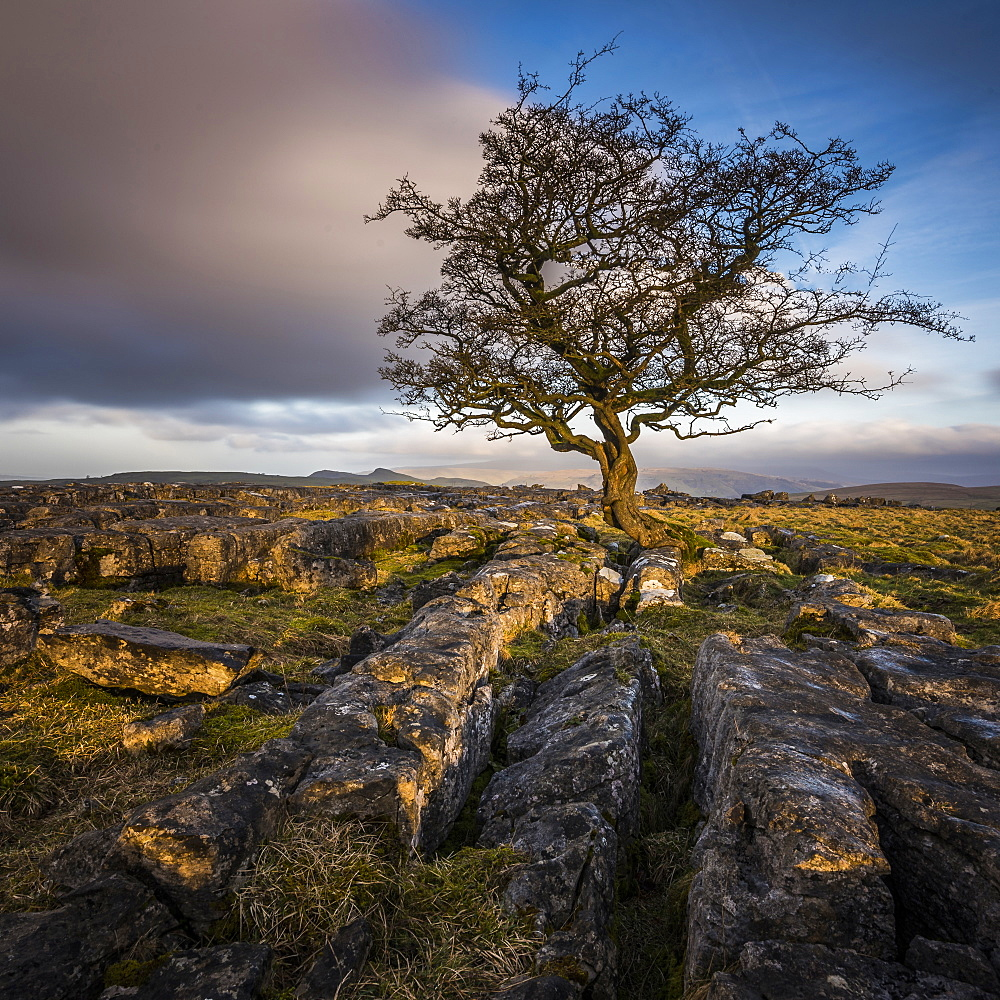 A lone weathered tree in amongst the limestone pavement of the Yorkshire Dales National Park, Yorkshire, England, United Kingdom, Europe - 1287-49