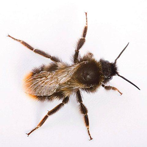red-tailed bumble bee - (Bombus lapidarius) - 832-20817