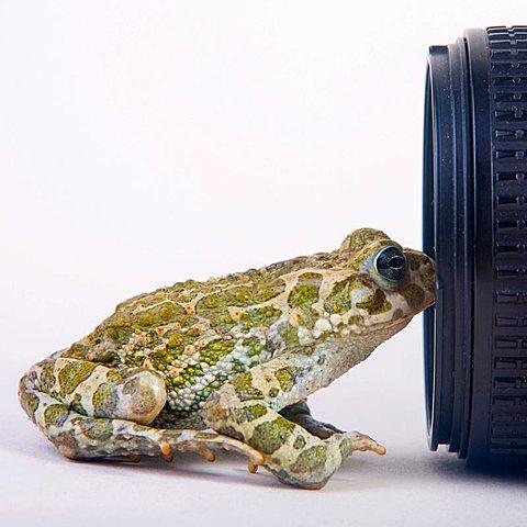 European green toad (Bufo viridis) in front of a camara