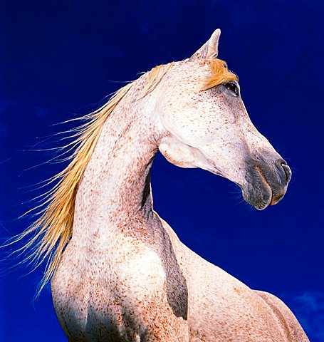 A white horse in side view