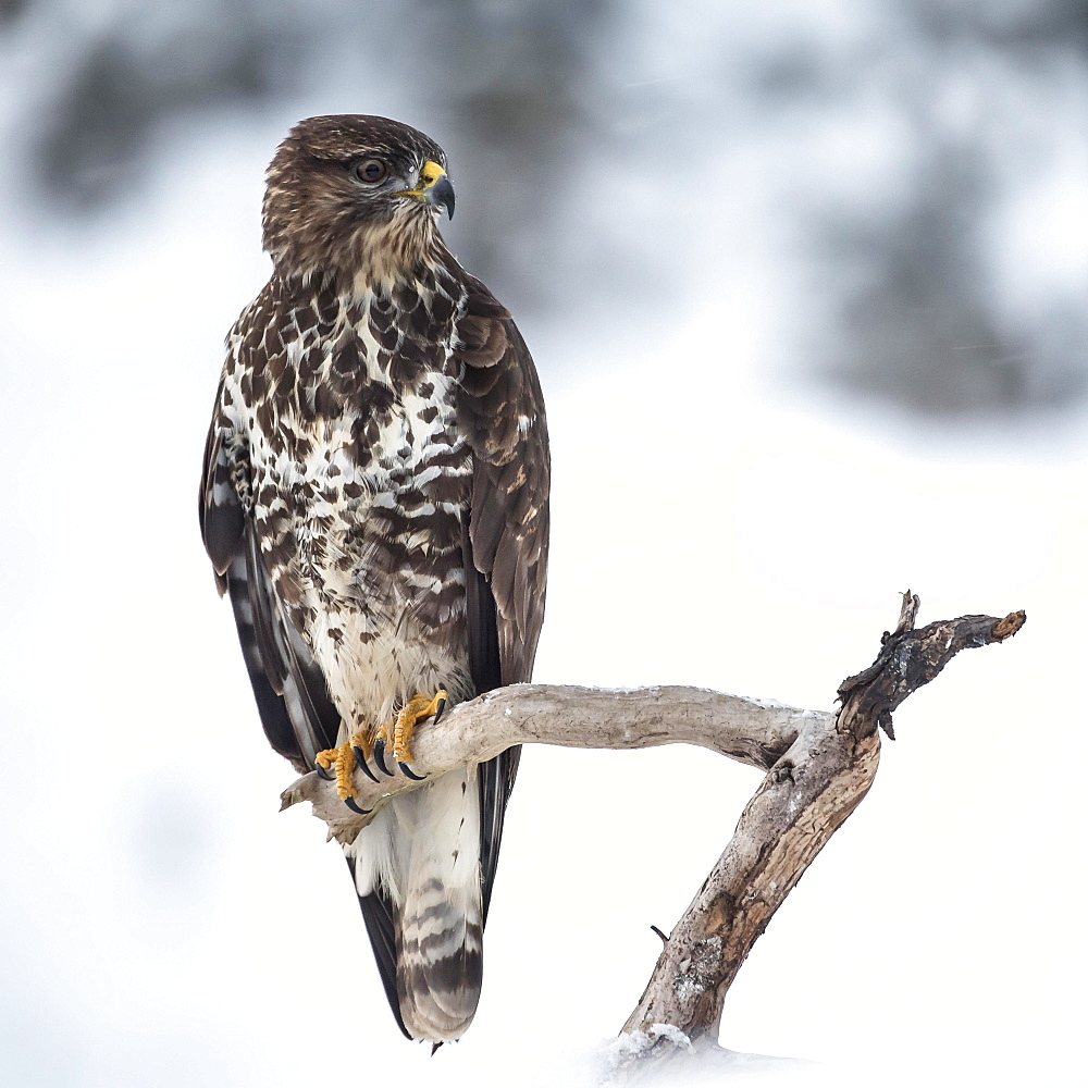 Steppe buzzard (Buteo buteo) sits on branch in winter, Tyrol, Austria, Europe