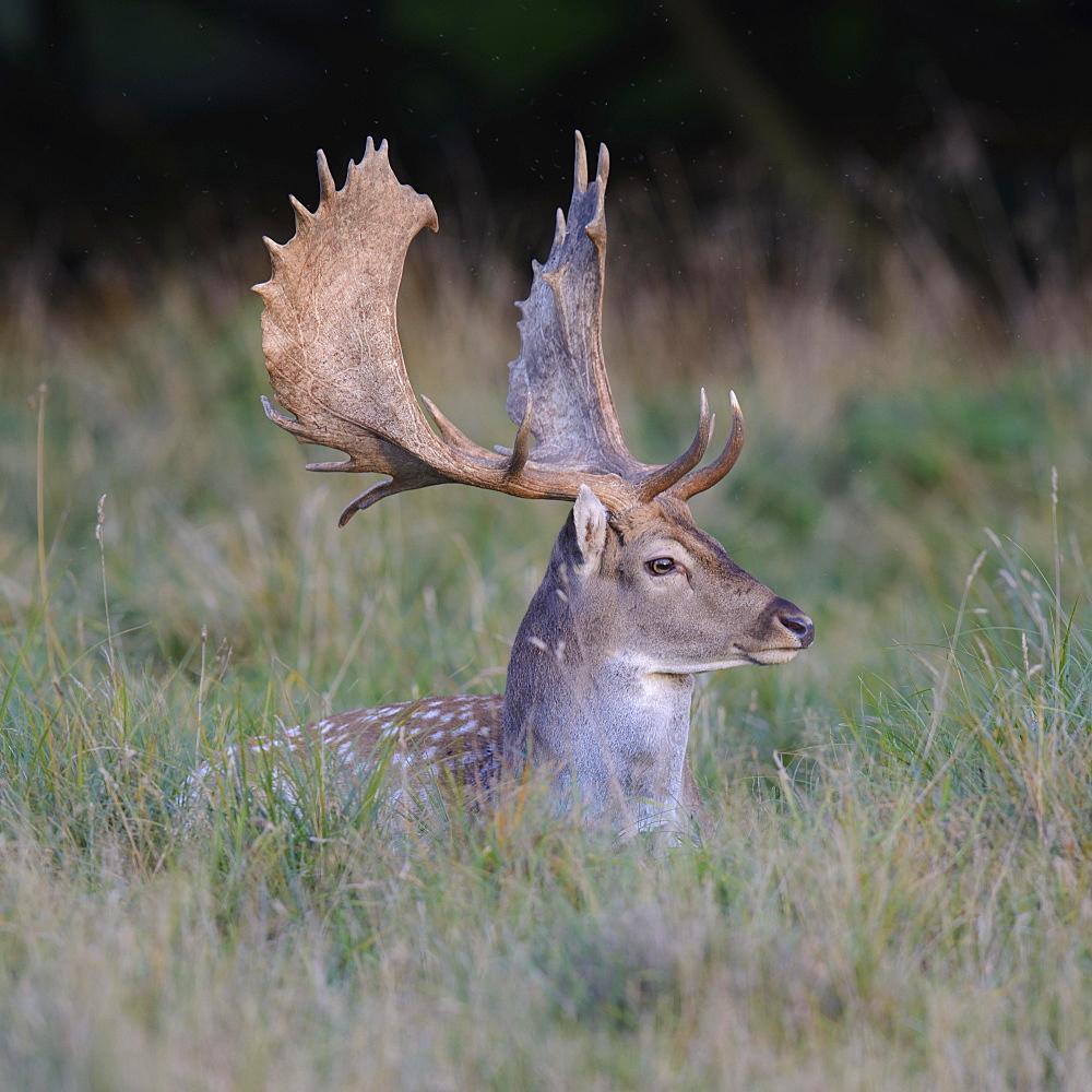 Fallow deer (Dama dama), resting in a meadow, Zealand, Denmark, Europe