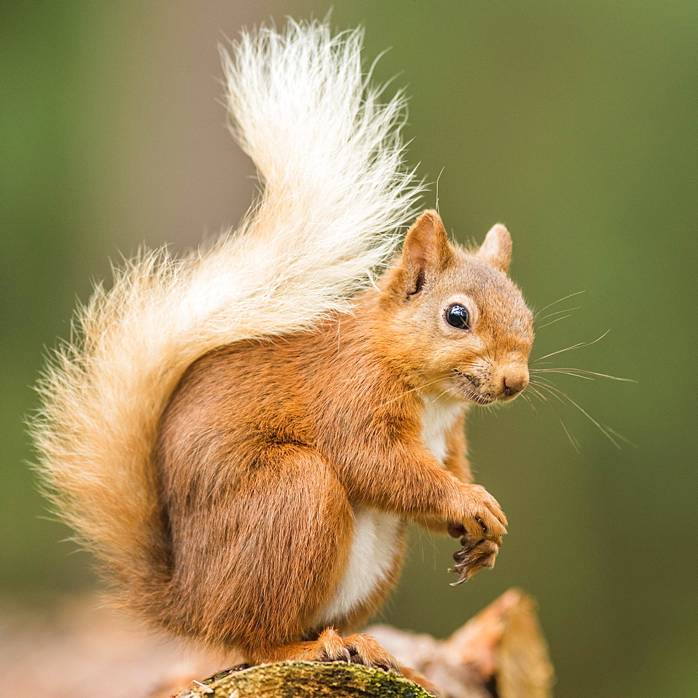 Eurasian red squirrel (Sciurus vulgaris) sits on a branch, Cairngroms National Park, Highlands, Scotland, Great Britain