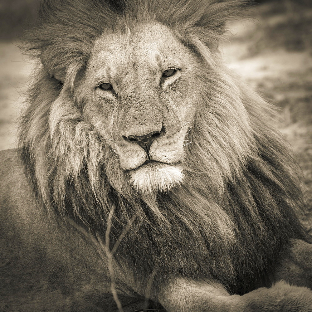 Lion (Panthera leo), adult male with a long mane and eyes half open, lying down, Okavango Delta, Botswana, Africa