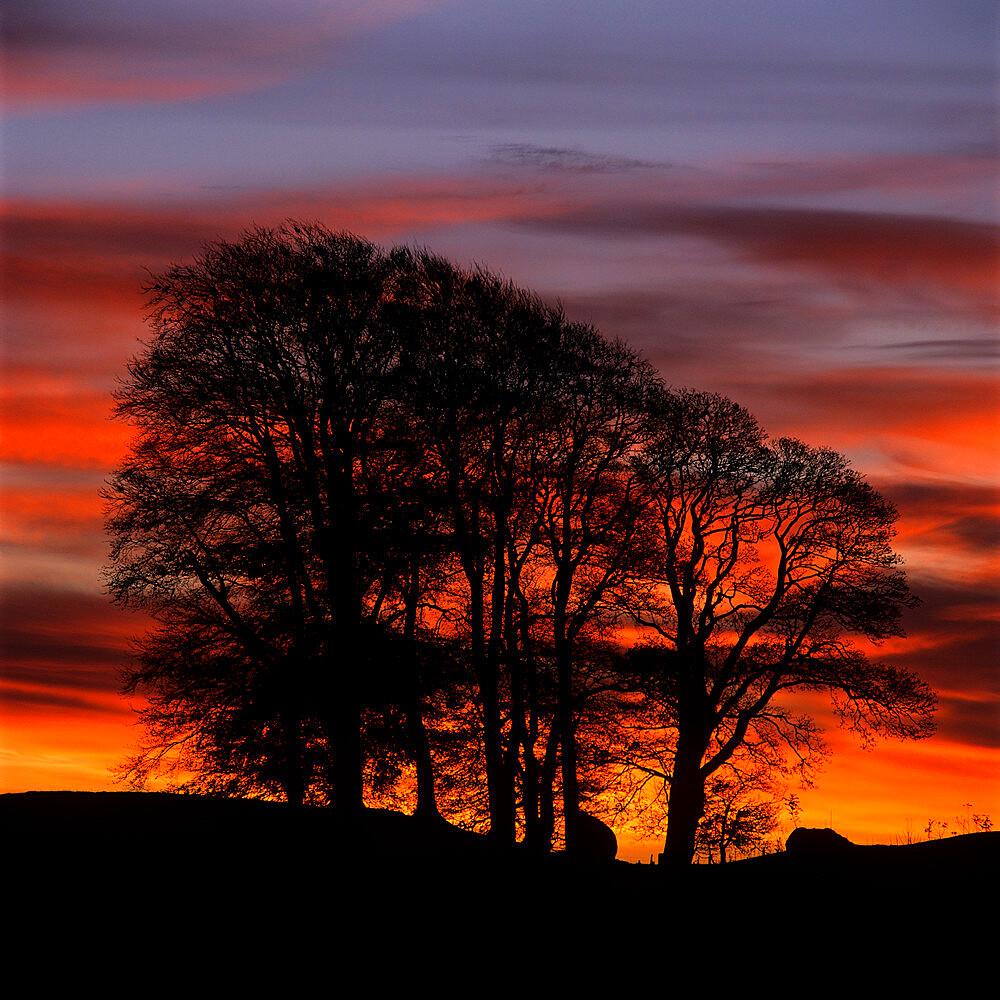 Clump of trees at sunrise, Avebury, Wiltshire, England, United Kingdom, Europe - 846-1112