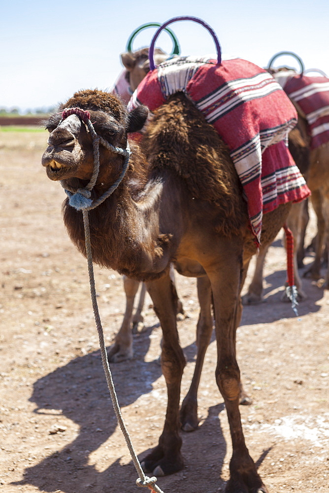 A camel just outside of Marrakesh, Morocco, North Africa, Africa - 10-150