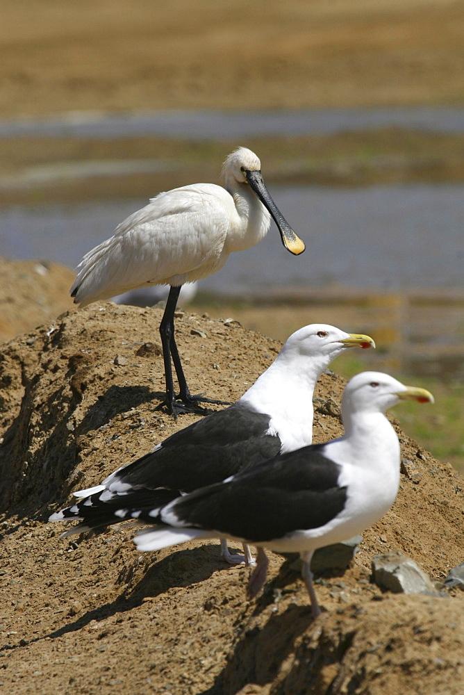 Spoonbill and Black Back Gulls. Jersey, British Isles