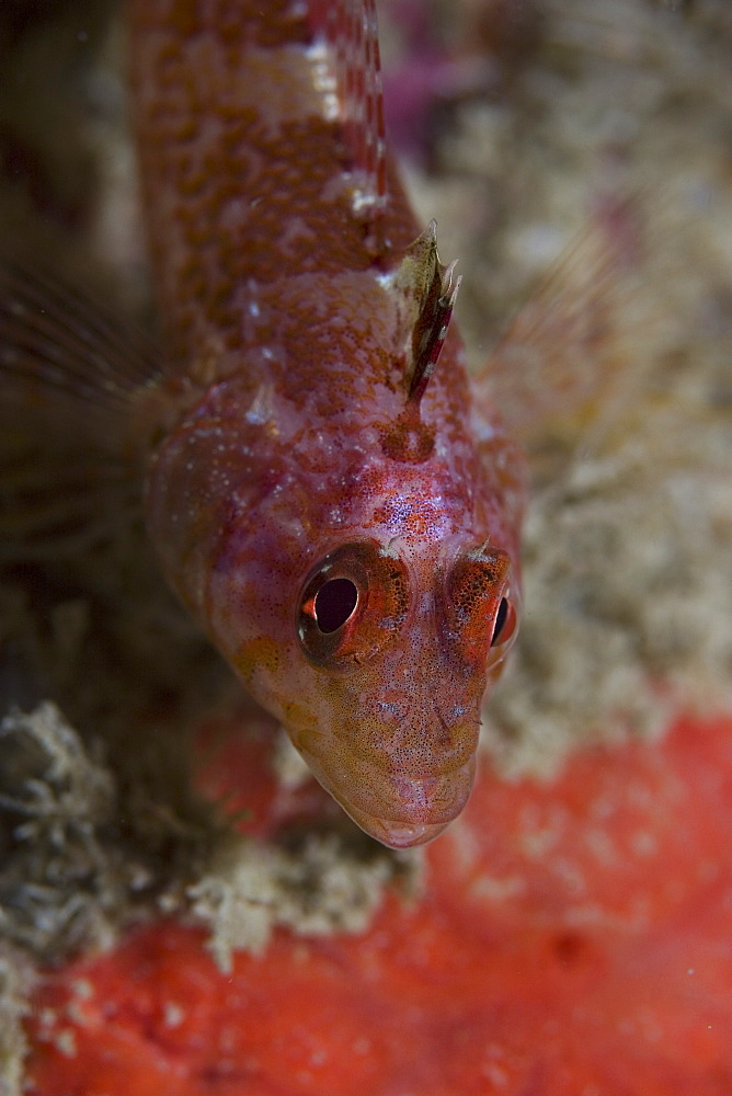 Black-face Blenny (Triperygion delaisi) (atlanticus), Sark, Channel Islands