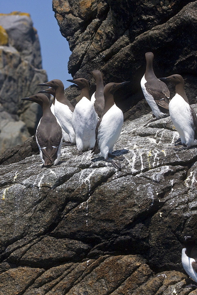 Guillemot (Uria aalge). British Channel Islands - 1004-410